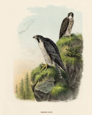 Falcon, Peregrine by O V Riesenthal